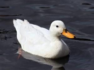 Bebek Putih